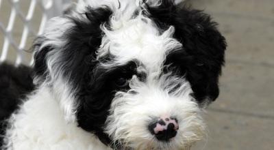 Czy pies może wyczuć spadek poziomu cukru we krwi?